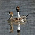 Northern Pintail Pair  by Tom Janca