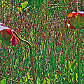 Northern Pitcher Plant In French Mountain Bog On Cape Breton Isl by Ruth Hager