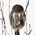 Northern Pygmy Owl - Little One by Beve Brown-Clark Photography