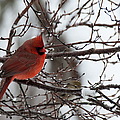 Northern Red Cardinal In Winter by Jeff Folger