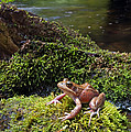 Northern Red-legged Frog by Stuart Wilson