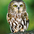 Northern Saw-whet Owl Aegolius Acadicus Wildlife Rescue by Dave Welling
