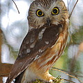 Northern Saw-whet Owl by Bruce J Robinson