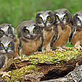 Northern Saw-whet Owl Chicks by Nick Saunders