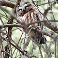 Northern Saw-whet Owl  by Tracy Winter