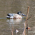 Northern Shoveler Duck  by Ruth  Housley