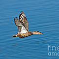 Northern Shoveler In Flight by Anthony Mercieca