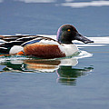 Northern Shoveler by Jack Bell
