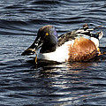 Northern Shoveler by Jayne Gohr
