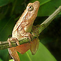 Northern Spring Peeper by William Tanneberger