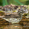 Northern Waterthrush by Anthony Mercieca