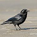 Northwestern Crow by Anthony Mercieca