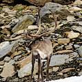 Norway, Troms Male Reindeer (rangifer by Fredrik Norrsell