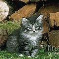 Norwegian Forest Kitten by John Daniels