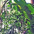 Nosy Komba Banana Palm by Jay Milo
