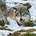 Not Any Closer by Wolves Only