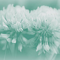 Not-so-white White Clover by Mother Nature