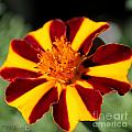 Novelty French Marigold Named Mr. Majestic by J McCombie