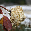 November Snow Rose by Susan Herber