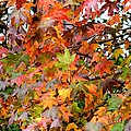 November's Maples by Maria Urso