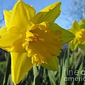 Now That's A Daffodil by Martin Howard