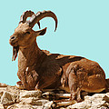 Nubian Ibex by DiDi Higginbotham