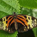 Numata Longwing Butterfly by Becca Buecher