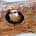 Nuthatch Bird In Nest by Luana K Perez