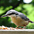 Nuthatch by Tom Conway