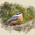 Nuthatch Watercolor Art by Christina Rollo