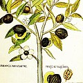 Nutmeg Plant Botanical by Rose Santuci-Sofranko