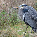Nw Blue Heron by Jan Noblitt
