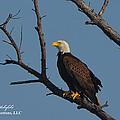 Nw Florida Bald Eagle Iv by Mark Olshefski