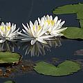 Nymphaea Odorata - Fragrant White Waterlilies by Becky Erickson