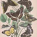 Nymphalidae - Danaidae by W Kirby