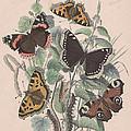Nymphalidae by W Kirby