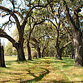 Oak Allee At Roseland Plantation  by Carol Luzzi