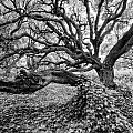Oak And Ivy Bw by Timothy Hacker