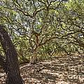Oak Forest - The Magical And Mysterious Trees Of The Los Osos Oak Reserve by Jamie Pham