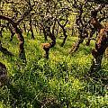 Oak Grove In Sunlight by Stuart Gordon