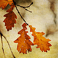 Oak Leaves At Autumn by Jenny Rainbow