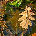 Oak Leaves In A Puddle by Alain De Maximy
