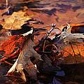 Oak Leaves by Jim Vance