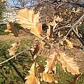 Oak Leaves by Joseph Yarbrough
