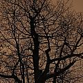 Oak Silhouette  by Tim Beebe