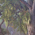 Oak Tree And Spanish Moss In The Mist by Stephanie Laird