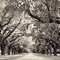 Oak Trees Of Charleston South Carolina In Sepia by Stephanie McDowell