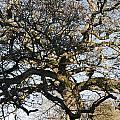 Oak Tree In Winter by Peter Lloyd