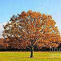 Oak Tree by Lana Enderle