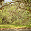 Oak Trees Draped With Spanish Moss by Kim Hojnacki